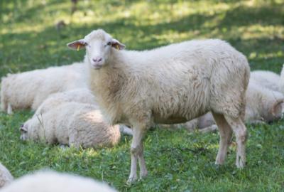 Schafe_klein